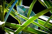 picture of chameleon  - Chameleon closeup  - JPG