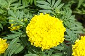 foto of marigold  - Yellow marigold flower in the garden, Yellow Marigold flower.