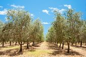 stock photo of row trees  - Between rows of olive trees with dry grass and blue sky in summer - JPG