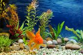 image of fantail  - Aquarium native hardy fancy gold fish Red Fantail - JPG