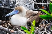 image of booby  - a galapagos island endangered red footed boobies