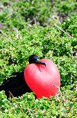image of mating animal  - galapgagos island red throated frigate birds during mating season - JPG