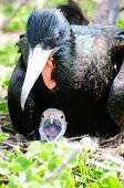 picture of mating animal  - galapgagos island red throated frigate birds during mating season - JPG