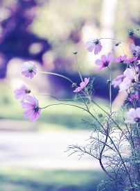 picture of cosmos flowers  - Pink cosmos flower in flower garden and bokeh background - JPG
