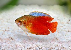 stock photo of freshwater fish  - Red Flame gourami Trichogaster lalius freshwater aquarium fish - JPG