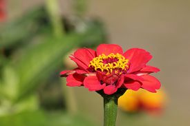image of zinnias  - Flower head of a common zinnia (Zinnia elegans syn. Zinnia violacea).