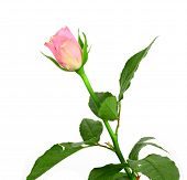 stock photo of single white rose  - beautiful single pink rose on a white background - JPG