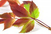 foto of grape leaf  - Multicolor autumnal grapes leaves  - JPG