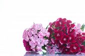 pic of carnation  - bright bouquet of carnations on a white background - JPG