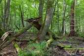 image of decomposition  - Old ash tree branch broken lying in foreground and old deciduous stand in background Bialowieza Forest - JPG