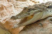 stock photo of alligator  - Alligator closeup on sand and rocks at zoo  - JPG