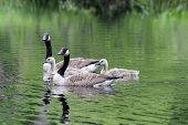 picture of mother goose  - A Canada Goose  - JPG