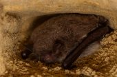 pic of bat  - A hibernating bat - JPG