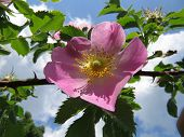 image of wild-brier  - Pink flower of wild rose hips closeup - JPG