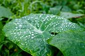 picture of jungle  - Big tropical green colocasia leaf with water or rain droplets in a lush jungle in Hawaii - JPG