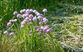 picture of onion  - Allium onion decorative - JPG