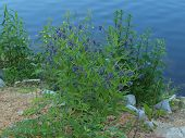 stock photo of bohemia  - flowers on the shore of the pond South Bohemia Czech Republic - JPG