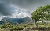 image of windswept  - A windswept tree on a mountain ridge on the GR20 track in Corsica with dark clouds over distant mountains - JPG