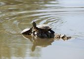 pic of terrapin turtle  - Two water turtles on the rock with sunlight - JPG