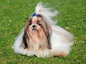 pic of dog breed shih-tzu  - The portrait of funny Shih Tzu dog in the spring garden - JPG
