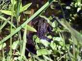stock photo of swamps  - A northern leopard frog  - JPG