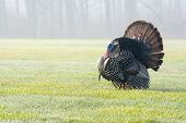 stock photo of wild turkey  - Wild turkey strutting for a mate in the spring mating season - JPG