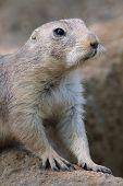 image of prairie  - Prairie dog in the zoo on grey background - JPG
