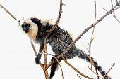 pic of titi monkey  - Monkey white - JPG