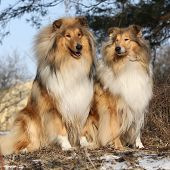 picture of scotch  - Two beautiful scotch collies sitting in the forest - JPG