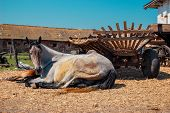 picture of foal  - adult horse mare white and her brown foal is lying near a wooden cart on a sunny day