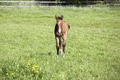 pic of foal  - a young brown Holsteiner foal standing in the sun on a pasture - JPG