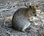 picture of quokka  - A quokka  - JPG