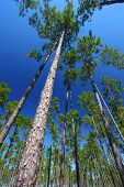 stock photo of saw-palmetto  - The beautiful pine flatwoods of central Florida on a sunny day - JPG