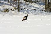 Wild Turkey On The Run