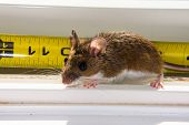 A Backlit Wild Brown House Mouse, Mus Musculus, Sitting On A Dirty White Windowsill. A Bright Yellow poster