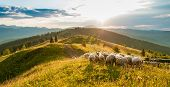 Mountain Range At Sunset. A Herd Of Sheep In The Mountains. Beautiful Mountain Landscape View. Sheph poster