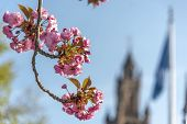 Sakura, Pink Japanese Cherry Flowers Blooming Against A Pur Blue Sky And Te Peace Palace At Spring T poster