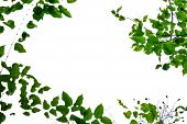 Top View Tropical Tree Leaves With Branches Growing At The Botany Park On White Isolated Background  poster