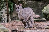 Cougar (puma Concolor), Also Commonly Known As The Mountain Lion, Puma, Panther, Or Catamount. Is Th poster