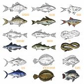 Sketches Of Ocean Fish Species. Isolated Sea Roach And Pollock, Silver Hake And Haddock, Tuna And Wi poster