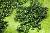 pic of hydrophytes  - Swamp background  - JPG