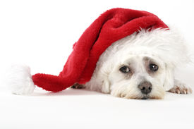 picture of puppy christmas  - christmas pooch resting with a santa hat - JPG