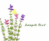 picture of clary  - Five branch of Salvia Viridis flower and butterfly - JPG