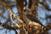 The Southern Pale Chanting Goshawk (melierax Canorus) Is Sitting On The Branch In The Shade. The Sou poster