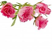 image of pink roses  - Fresh pink roses border isolated on white background - JPG