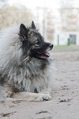 German Spitz Is A Breed Of Dog. Companion Dog. German Spitz Are Descendants Of The Stone Age Peat Do poster