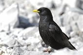 The Alpine Chough Or Yellow-billed Chough (pyrrhocorax Graculus), With A Backdrop Of Alpine Landscap poster