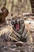 Angry Tiger Face Portrait With Expression Mouth Open Showing Canines During Summer Season Safari To  poster