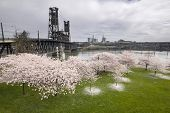 Cherry Blossoms Along Willamette River
