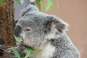 stock photo of koalas  - Koala bear eating eucalyptus in Australian zoo - JPG